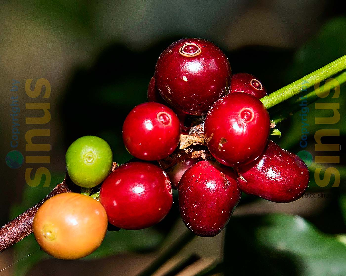 Die Kaffeefrucht umhüllt den Kern der Kaffeekirsche