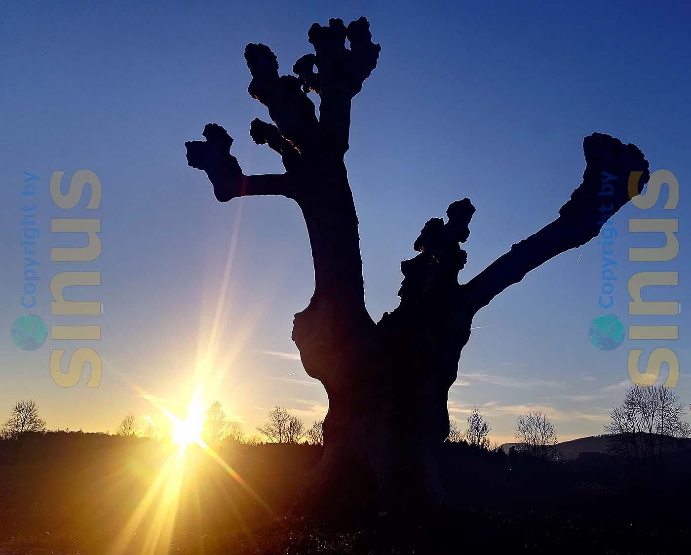 Baum mit gestutzten Ästen