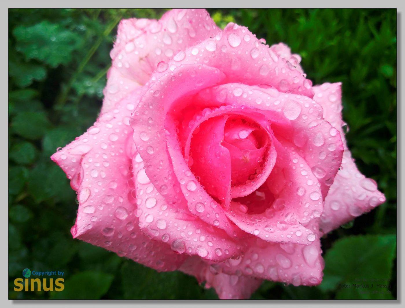Blume und Regentropfen