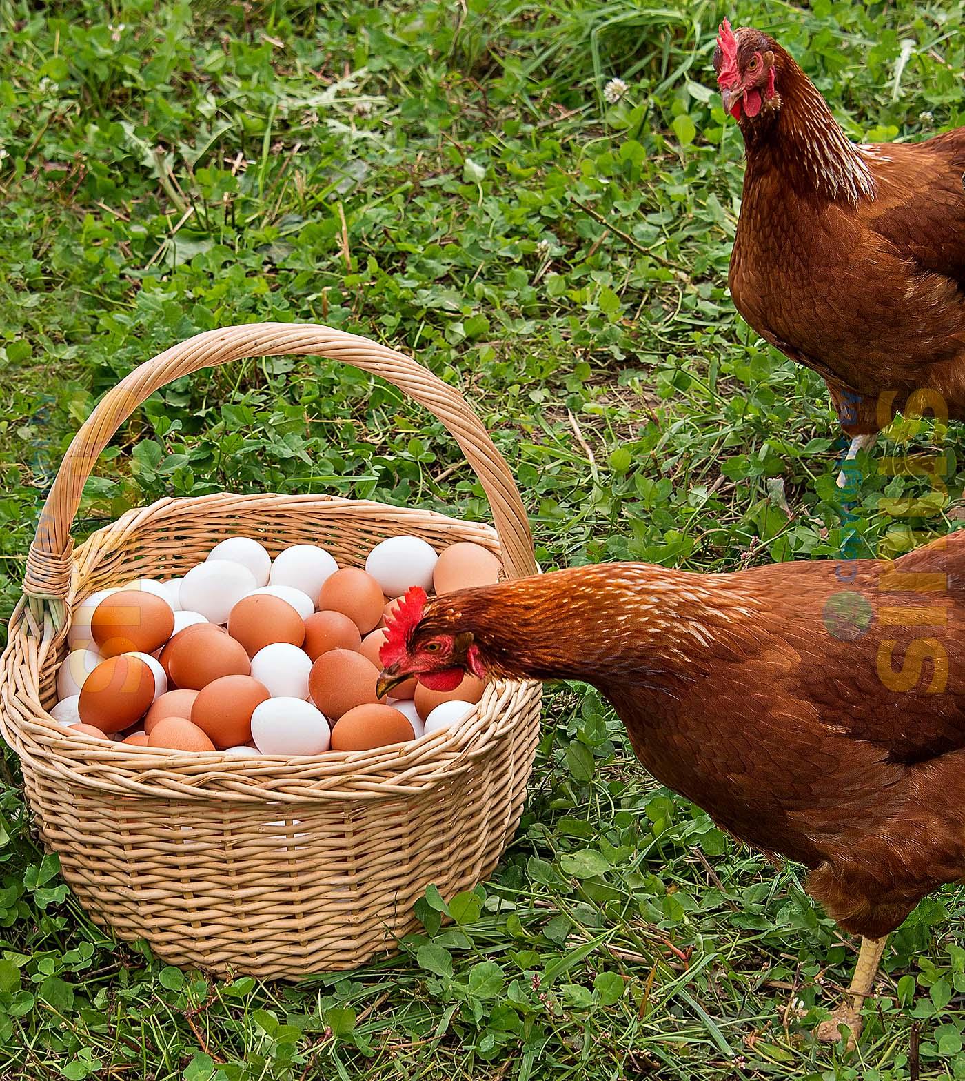 Weide-Hühner